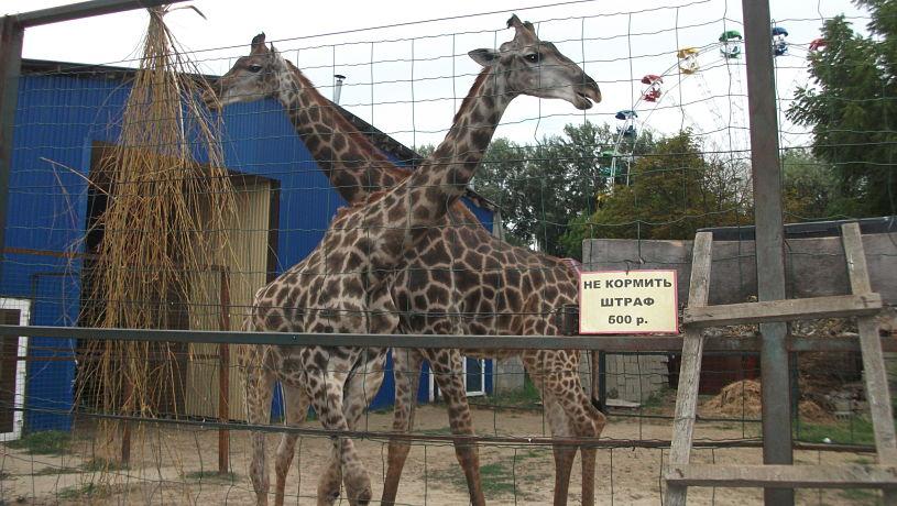 Жирафы в Сафари-парке